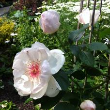 「ホワイトローズ」シリーズにエキスが配合されている白いバラ、ロサアルバ。